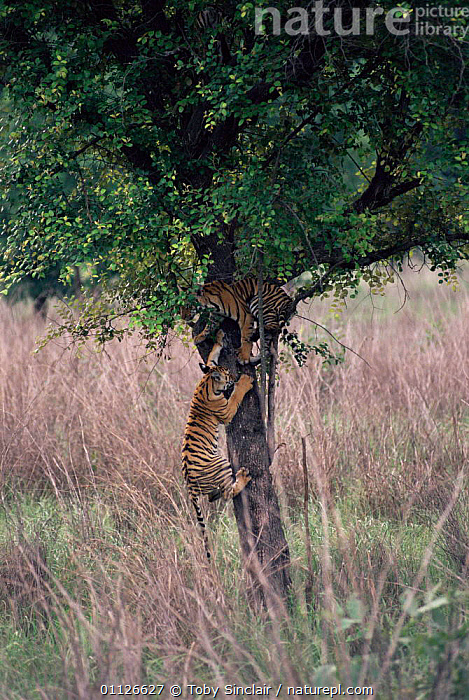 Tigers playing, climbing tree {Panthera tigris} Kanha NP, Madhya Pradesh, India  ,  VERTICAL,TWO,TREES,RESERVE,ASIA,BEHAVIOUR,CARNIVORES,PLAY,JUVENILE,MAMMALS,Plants,Communication,Tigers,Big Cats  ,  Toby Sinclair