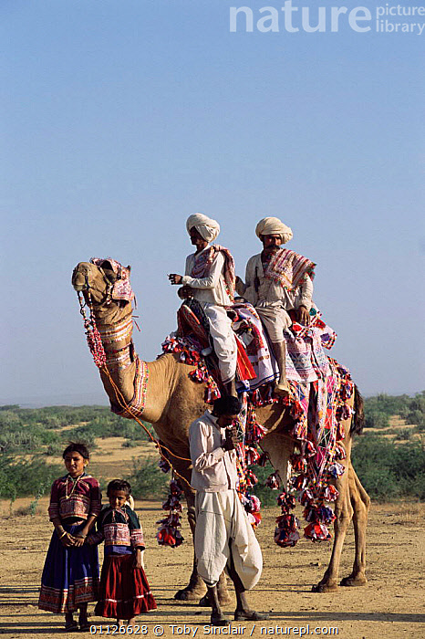 Rabhari family with domesticated camel, Kutch, Gujarat, India  ,  MAMMALS,LANDSCAPES,PEOPLE,PERISSODACTYLA,ASIA,DESERTS,DOMESTIC,CHILDREN,FAMILIES,RIDING,TRIBES,TRANSPORT,VERTICAL,WORKING,INDIA,INDIAN-SUBCONTINENT  ,  Toby Sinclair