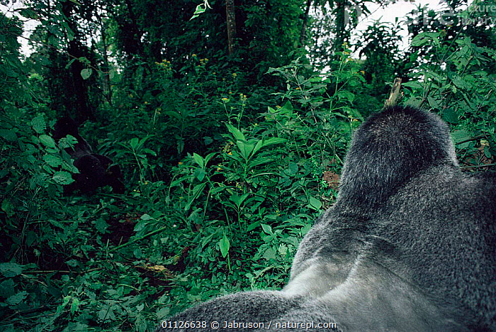 Silverback Mountain gorilla displays to another male Virunga NP, DR Congo {Gorilla g beringei}  ,  MAMMALS,MALES,PRIMATES,CENTRAL AFRICA,DOMINANCE,DISPLAYING,BEHAVIOUR,RESERVE,TROPICAL RAINFOREST,TWO,Africa,Great apes,Catalogue1 , Bruce Davidson  ,  Jabruson