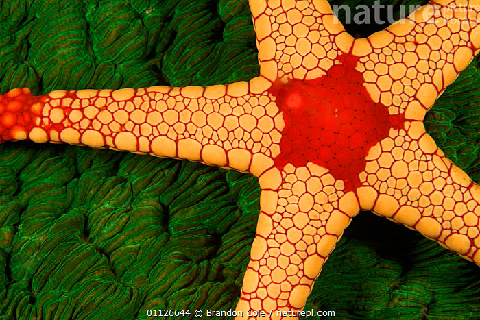 Necklace seastar {Fromia monilis} Indonesia, Indo Pacific  ,  ABSTRACT,ECHINODERMS,INDO PACIFIC,INVERTEBRATES,MARINE,STARFISH,TROPICAL,UNDERWATER  ,  Brandon Cole