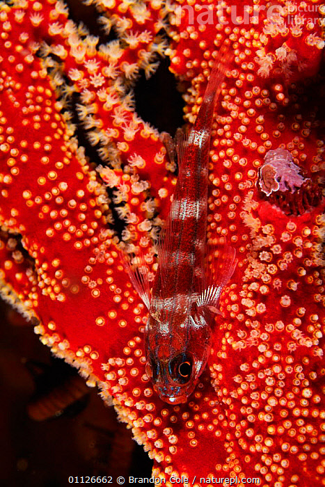 Goby {Gobiidae} on gorgonian sea fan, Indonesia.  ,  ANTHOZOAN,CAMOUFLAGE,CORAL,CORAL REEFS,FISH,INDONESIA,INDO PACIFIC,MARINE,TROPICAL,UNDERWATER,VERTICAL,Asia  ,  Brandon Cole