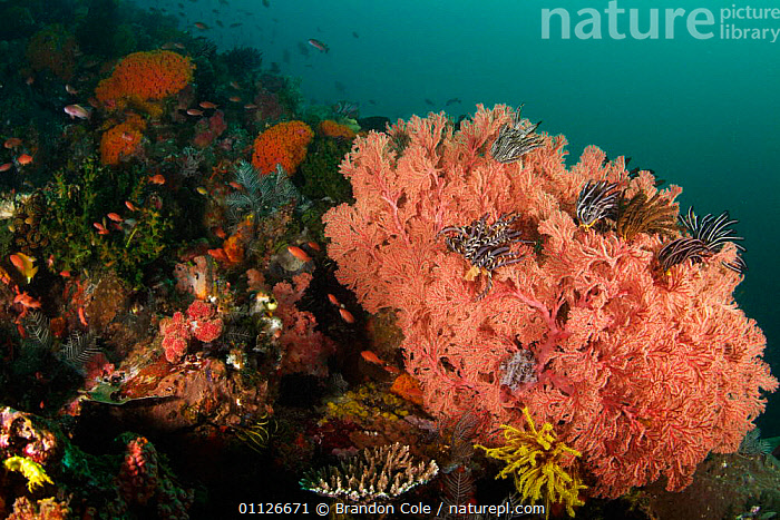 Gorgonian seafan and crinoids on coral reef, Indonesia.  ,  COLOURFUL,CORAL REEFS,CORALS,CUP,HABITAT,INDONESIA,INDO PACIFIC,MARINE,MIXED SPECIES,SOFT,TROPICAL,UNDERWATER,Asia,Anthozoans,Invertebrates, Cnidaria  ,  Brandon Cole