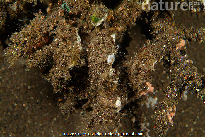 Coral covered in silt after heavy rains flooded nearby river, IndoPacific  ,  ANTHOZOAN,CORAL REEFS,DAMAGE,FLOODING,INDO PACIFIC,MARINE,POLLUTION,TROPICAL,UNDERWATER,Anthozoans,Invertebrates, Cnidaria  ,  Brandon Cole