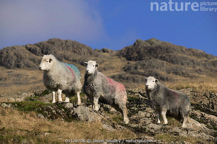 Herdwick sheep on upland fell at Wrynose Pass, Cumbria, England.  ,  ANTELOPES, ARTIODACTYLA, ENGLAND, EUROPE, MAMMALS, SHEEP, VERTEBRATES, BOVIDS, GOATS, HIGHLANDS, LIVESTOCK, THREE, UK,United Kingdom  ,  Jason Smalley
