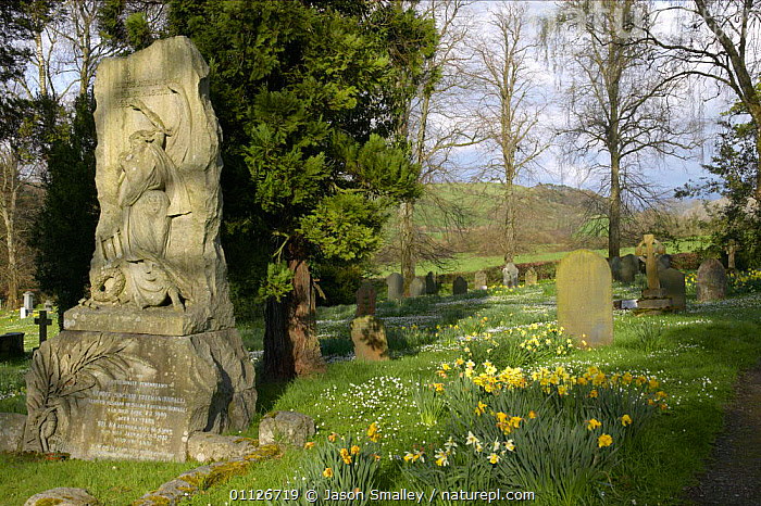 Church yard with Wood anenomes and Daffodils, Cockermouth, Cumbria  ,  CHURCHYARD,EUROPE,FLOWERS,GRAVE,LANDSCAPES,SPRING,TOMBSTONE,UK,United Kingdom,British,ENGLAND  ,  Jason Smalley