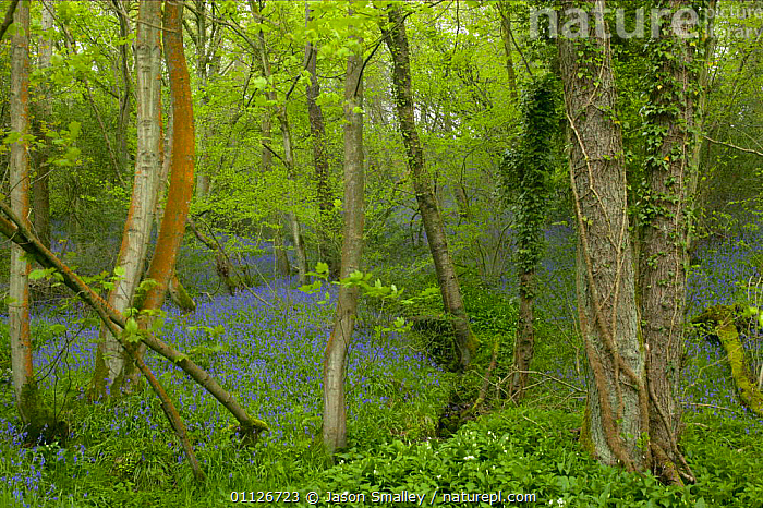 Bluebells in woodland, Brock Valley, river Wyre, Lancashire, England  ,  EUROPE,FLOWERS,HABITAT,LANDSCAPES,PARK,PLANTS,SPRING,UK,WOODLANDS,United Kingdom,British,ENGLAND  ,  Jason Smalley