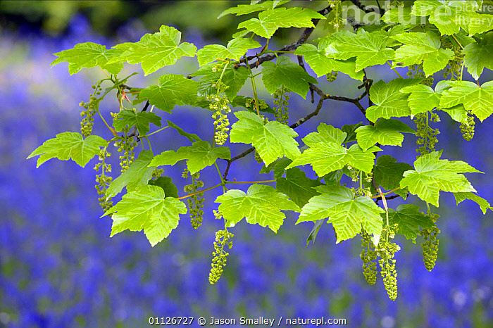 Sycamore leaves + flowers {Acer pseudoplatanus} with bluebells behind, England.  ,  ABSTRACT,ENGLAND,EUROPE,PLANTS,SPRING,TREES,UK,United Kingdom,British  ,  Jason Smalley