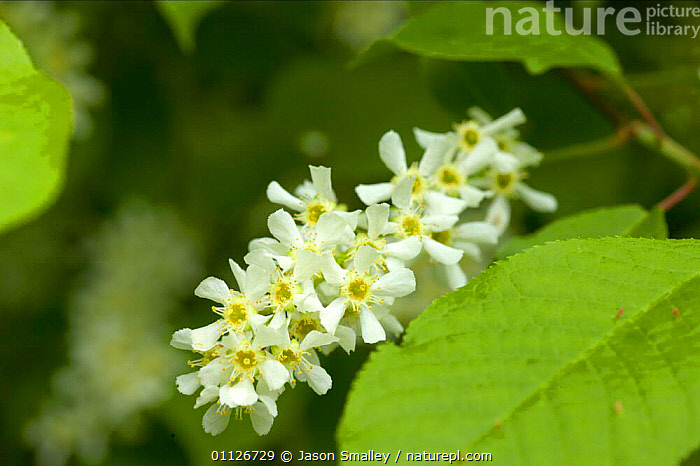 Bird cherry {Prunus padus} in flower, England.  ,  ENGLAND,EUROPE,FLOWERS,PLANTS,TREES,UK,United Kingdom,British  ,  Jason Smalley