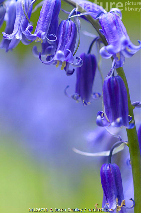 Close-up of Bluebell flower {Hyacinthoides non-scripta} England  ,  ABSTRACT, BLUE, EUROPE, FLOWERS, LILIACEAE, MONOCOTYLEDONS, PLANTS, UK, VERTICAL,United Kingdom  ,  Jason Smalley