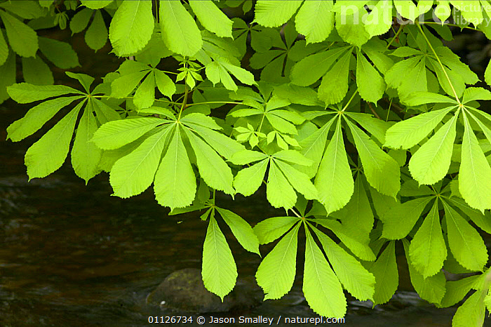 Horse chestnut leaves above stream {Aesculus hippocastanum} England  ,  EUROPE,GREEN,PLANTS,RIVERS,TREES,UK,WATER,United Kingdom,British,Equines  ,  Jason Smalley