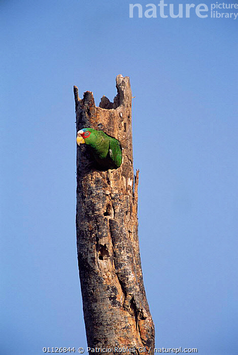 White fronted parrot in nest hole {Amazona albifrons} Yucatan, Mexico  ,  TRUNKS,VERTICAL,BIRD,CENTRAL AMERICA,PARROTS  ,  Patricio Robles Gil