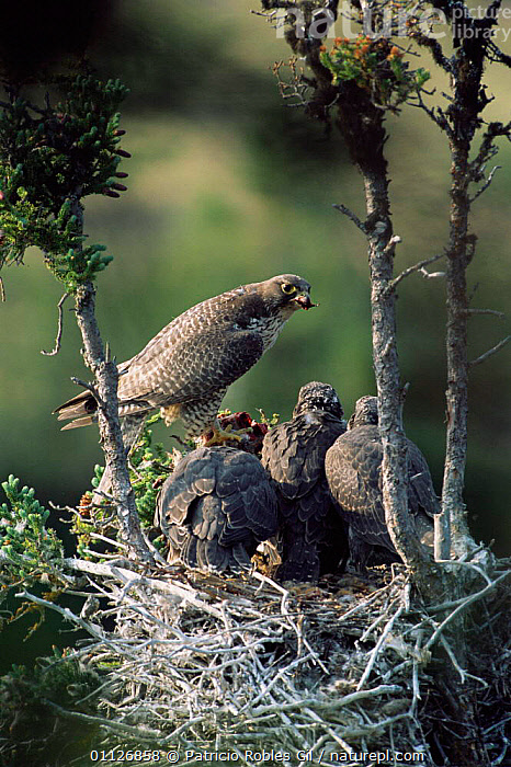 Gyrfalcon feeds chicks at nest {Falco rusticolus} NW Territories, Canada.  ,  FEEDING,FAMILIES,FALCONS,BIRDS,CANADA,BIRDS OF PREY,BABIES,BEHAVIOUR,NORTH AMERICA,NORTHWEST,NESTS,VERTICAL  ,  Patricio Robles Gil