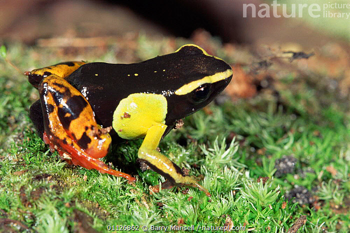 Mantella frog, captive occurs Madagascar  ,  FROGS,AMPHIBIANS,SP,Anura  ,  Barry Mansell