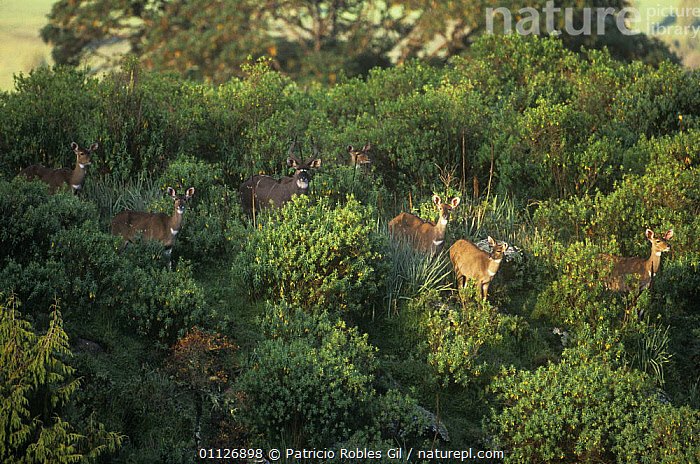 Herd of Mountain nyala {Tragelaphus buxtoni} Bale Mountains, Ethiopia, Endangered  ,  ANTELOPES,ARTIODACTYLA,BOVIDS,EAST AFRICA,ENDANGERED,ENDEMIC,FAMILIES,GROUPS,HABITAT,HIGH ANGLE SHOT,HIGHLANDS,MAMMALS,MOUNTAINS,Africa  ,  Patricio Robles Gil