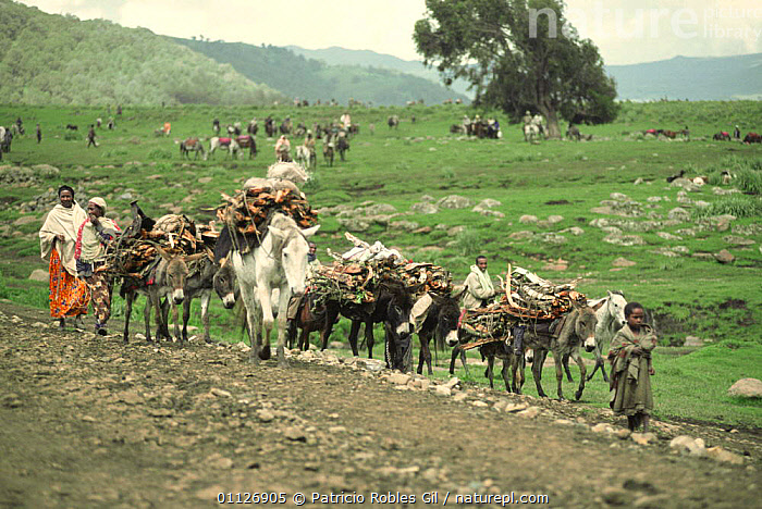 Local people collecting firewood and transporting it back to homes on donkeys, Bale Mountains, Ethiopia  ,  AFRICA,COLLECTING,CULTURES,DONKEYS,EAST AFRICA,FAMILIES,FIREWOOD,GROUPS,HARVESTING,HIGHLANDS,LANDSCAPES,MAMMALS,MULES,PEOPLE,TRIBES,WORKING,EAST-AFRICA  ,  Patricio Robles Gil