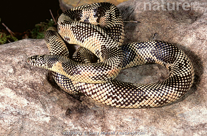 Florida kingsnake {Lampropeltis getulus floridana} Florida, USA  ,  COLUBRIDS,NORTH AMERICA,PATTERNS,REPTILES,SKIN,SNAKES,USA,VERTEBRATES, King-snakes  ,  Barry Mansell