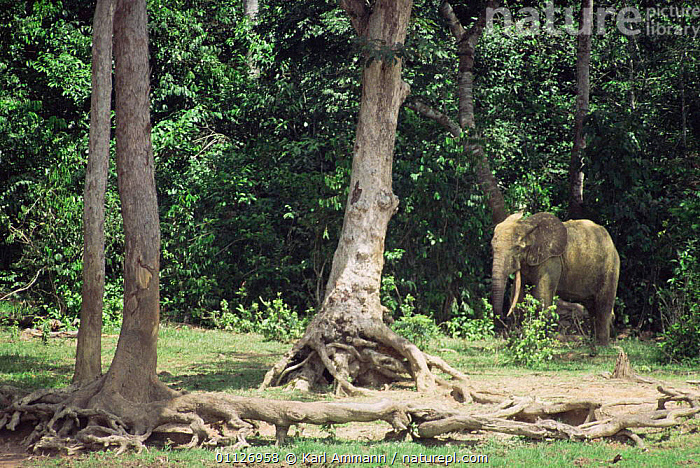 Forest elephants in bai / clearing, Dzanga Sangha, Central African Republic  ,  CENTRAL AFRICA,PROBOSCIDS,TROPICAL RAINFOREST,MAMMALS,Africa,Elephants  ,  Karl Ammann
