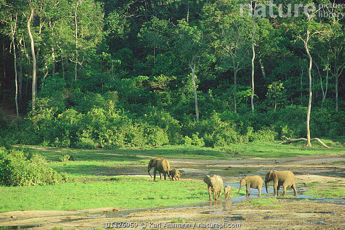 Forest elephants in bai / clearing, Dzanga Sangha, Central African Republic  ,  CENTRAL AFRICA,MAMMALS,PROBOSCIDS,TROPICAL RAINFOREST,Africa,Elephants  ,  Karl Ammann