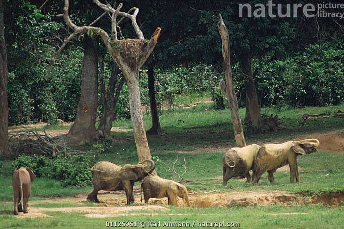 Forest elephants in bai / clearing, Dzanga Sangha, Central African Republic  ,  PROBOSCIDS,CENTRAL AFRICA,TROPICAL RAINFOREST,MAMMALS,Africa,Elephants  ,  Karl Ammann