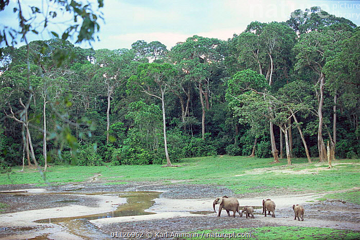 Forest elephants in bai / clearing in rainforest, Dzanga Sangha, CAR  ,  CENTRAL AFRICAN REPUBLIC,HABITAT,PROBOSCIDS,LANDSCAPES,MAMMALS,TROPICAL RAINFOREST,CENTRAL AFRICA,Africa,Elephants  ,  Karl Ammann