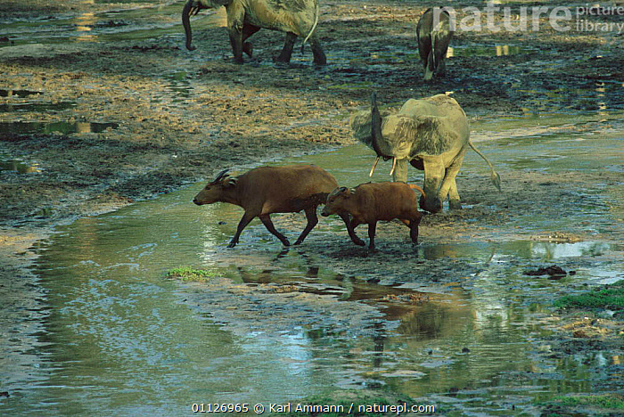 Young Forest elephant seeing off Sitatunga in bai, Dzanga Sangha, Central African  ,  CENTRAL AFRICAN REPUBLIC,ELEPHANTS,CONGO,MAMMALS,TROPICAL RAINFOREST,CENTRAL AFRICA,CLEARING,WATERHOLE,MIXED SPECIES,Africa  ,  Karl Ammann