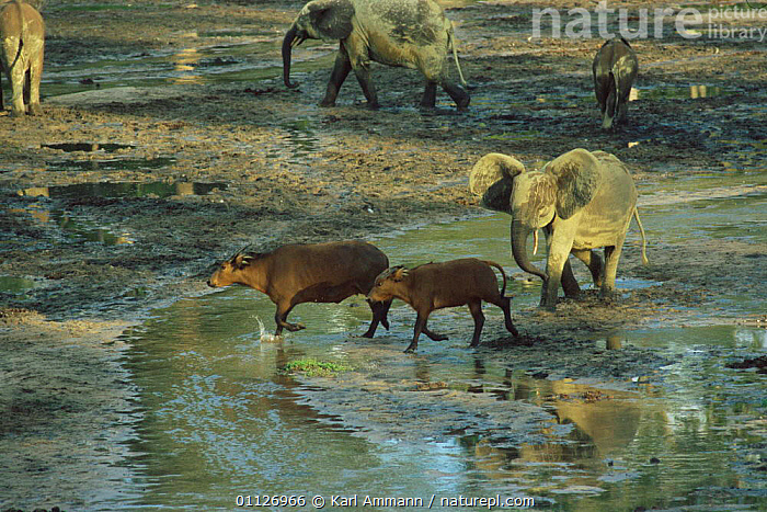 Young Forest elephant seeing off Sitatunga in bai Dzanga Sangha, Central African  ,  WATER,TROPICAL RAINFOREST,CENTRAL AFRICAN REPUBLIC,MAMMALS,ELEPHANTS,INTERACTION,WATERHOLE,CENTRAL AFRICA,CLEARING,CONGO,MIXED SPECIES,Africa  ,  Karl Ammann