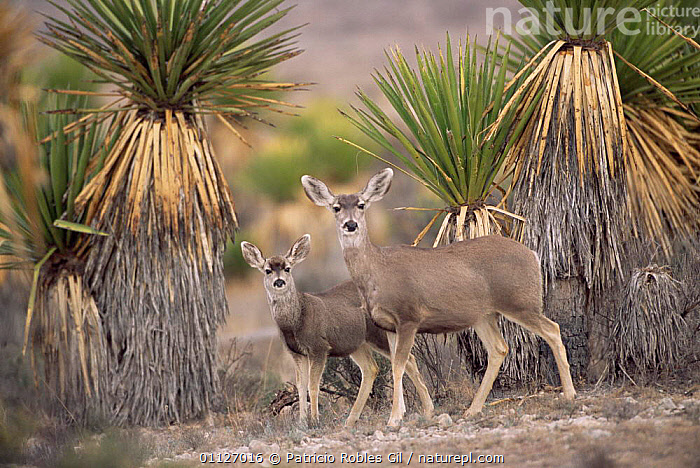 Mule deer with young {Odocoileus hemionus} Chihuaha desert, Mexico  ,  ARTIODACTYLA,BABY,CENTRAL AMERICA,DESERTS,FAMILIES,MAMMALS,PALM,MOTHER,TREES,Plants  ,  Patricio Robles Gil