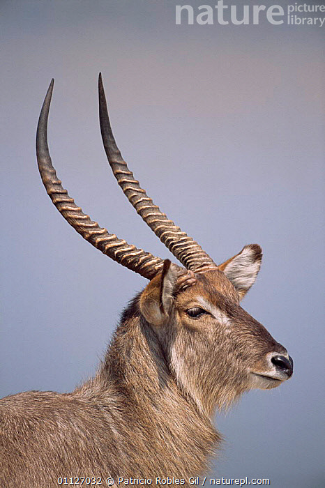 Waterbuck stag portrait {Kobus ellipsiprymnus} South Africa  ,  HORNS,MAMMALS,MALES,PORTRAITS,ANTELOPES,ARTIODACTYLA,VERTICAL,SOUTHERN AFRICA  ,  Patricio Robles Gil