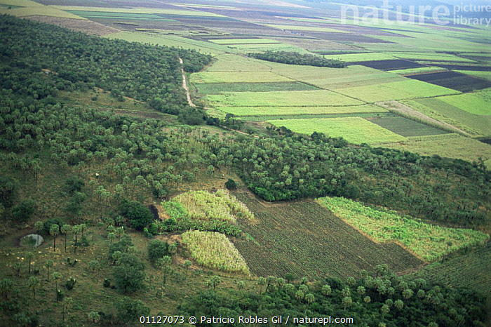 Aerial view of Sugar cane fields, San Luis Potosi, Mexico  ,  AERIALS,AGRICULTURE,CENTRAL AMERICA,CROPS,LANDSCAPES,MEXICO,CENTRAL-AMERICA  ,  Patricio Robles Gil