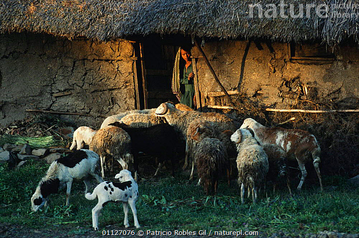 Highland woman at hut entrance with sheep and goats, Ethiopia  ,  AFRICA,ARTIODACTYLA,BUILDINGS,CULTURES,EAST AFRICA,GOATS,HIGHLANDS,HOMES,HUTS,LIVESTOCK,MAMMALS,MOUNTAINS,SHEEP,TRADITIONAL,TRIBES,WOMAN,EAST-AFRICA  ,  Patricio Robles Gil