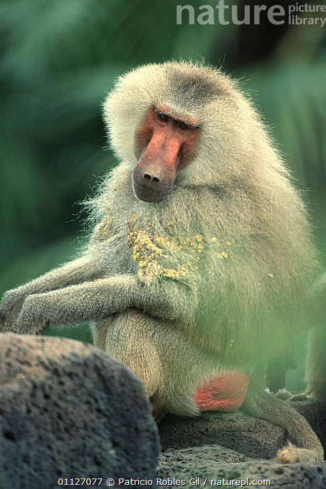 Hamadryas baboon with burrs in coat {Papio hamadryas} Awash NP, Ethiopia  ,  BABOONS,EAST AFRICA,HAIR,MAMMALS,MONKEYS,NP,PORTRAITS,PRIMATES,RED,VERTEBRATES,VERTICAL,Africa,National Park  ,  Patricio Robles Gil