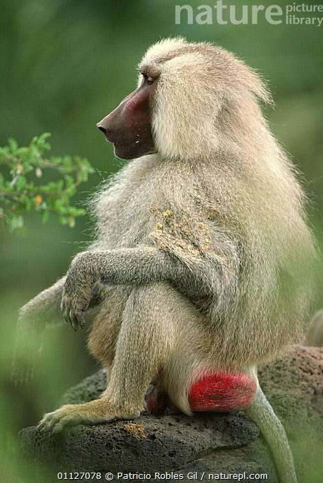 Hamadryas baboon with burrs in coat {Papio hamadryas} Awash NP, Ethiopia  ,  BABOONS,EAST AFRICA,HAIR,MAMMALS,MONKEYS,NP,PORTRAITS,PRIMATES,PROFILE,RED,VERTEBRATES,VERTICAL,Africa,National Park  ,  Patricio Robles Gil