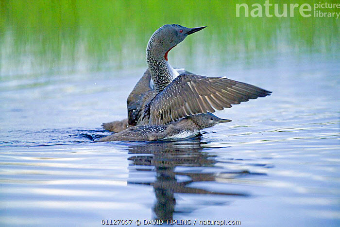 Red-throated diver {Gavia stellata} protecting young, Finland.  ,  BABIES,BEHAVIOUR,BIRDS,CHICKS,DEFENSE,DISPLAY,DIVERS,EUROPE,FAMILIES,FINLAND,SCANDINAVIA,WATERFOWL,WINGS,Communication  ,  DAVID TIPLING
