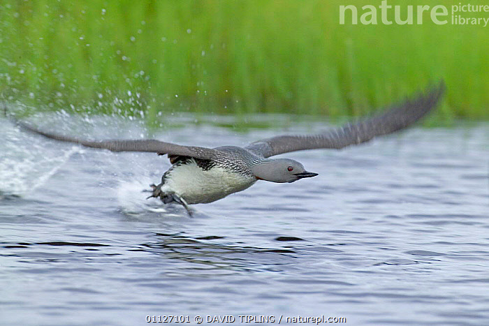 Red-throated diver taking off {Gavia stellata}, Finland.  ,  ACTION,BEHAVIOUR,BIRDS,DIVERS,EUROPE,FINLAND,FLYING,SCANDINAVIA,WATERFOWL  ,  DAVID TIPLING