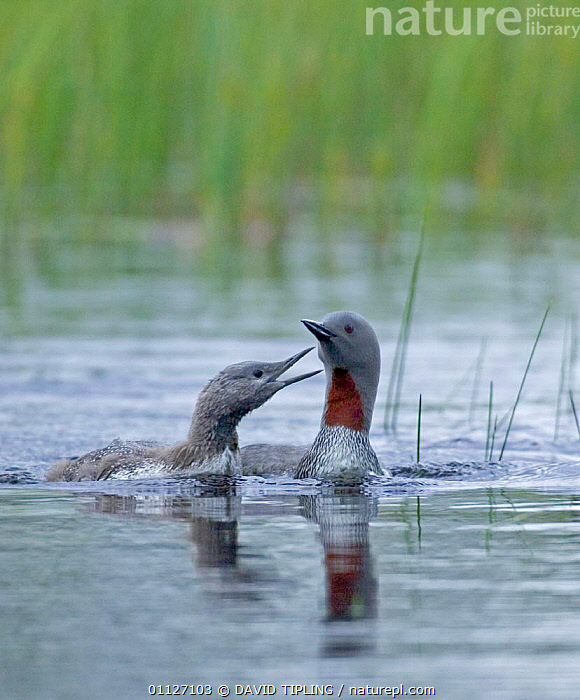 Red-throated diver chick begging adult for food {Gavia stellata}, Finland.  ,  BABIES,BEHAVIOUR,BIRDS,CHICKS,DIVERS,EUROPE,FAMILIES,FINLAND,SCANDINAVIA,VERTICAL,WATER,WATERFOWL  ,  DAVID TIPLING