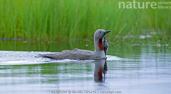 Red-throated diver chick begging adult for food {Gavia stellata}, Finland.  ,  BABIES,BEHAVIOUR,BIRDS,CHICKS,DIVERS,EUROPE,FAMILIES,FINLAND,SCANDINAVIA,WATER,WATERFOWL  ,  DAVID TIPLING