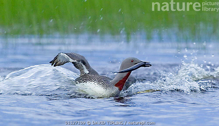Red-throated diver {Gavia stellata} returns to breeding pool with fish, Finland.  ,  BEHAVIOUR,BIRDS,BRINGING,DIVERS,EUROPE,FAMILIES,FEEDING,FINLAND,LANDING,PARENTAL,POND,SCANDINAVIA,WATERFOWL,YOUNG  ,  DAVID TIPLING