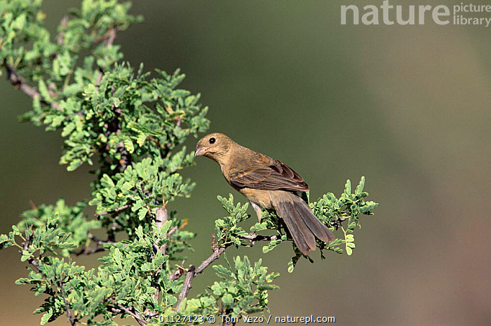 Female Varied bunting {Passerina versicolor} Arizona, USA  ,  FEMALES,BUNTINGS,BIRDS,NORTH AMERICA,USA  ,  Tom Vezo