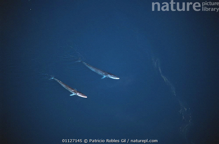 Aerial view of two Fin whales {Balaenoptera physalus} Gulf of California, Mexico  ,  AERIALS,CENTRAL AMERICA,CETACEANS,COASTAL WATERS,ENDANGERED,MAMMALS,MARINE,MEXICO,PACIFIC,SURFACE,VERTEBRATES,WHALES,,Baleen whale,  ,  Patricio Robles Gil