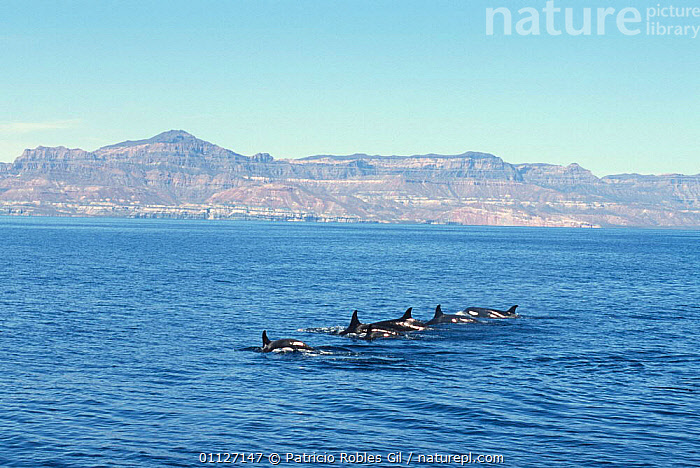 Pod of Killer whales {Orcinus orca} Gulf of California, Mexico  ,  CENTRAL AMERICA,CETACEANS,COASTAL WATERS,COASTS,DOLPHINS,GROUPS,MAMMALS,MARINE,MEXICO,PACIFIC,PODS,SURFACE,SURFACING,TROPICAL,VERTEBRATES,WHALES  ,  Patricio Robles Gil