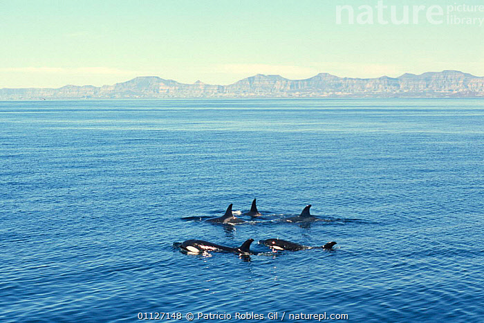 Pod of Killer whales {Orcinus orca} Gulf of California, Mexico  ,  CENTRAL AMERICA,CETACEANS,COASTAL WATERS,COASTS,DOLPHINS,FAMILIES,GROUPS,MAMMALS,MARINE,MEXICO,PACIFIC,PODS,SURFACE,SURFACING,VERTEBRATES,WHALES,CENTRAL-AMERICA  ,  Patricio Robles Gil