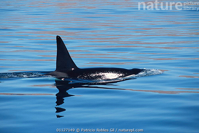 Killer whale {Orcinus orca} Gulf of California, Mexico  ,  CENTRAL AMERICA,CETACEANS,COASTAL WATERS,DOLPHINS,DORSAL,FIN,MALE,MAMMALS,MARINE,MEXICO,PACIFIC,SURFACE,SURFACING,VERTEBRATES  ,  Patricio Robles Gil