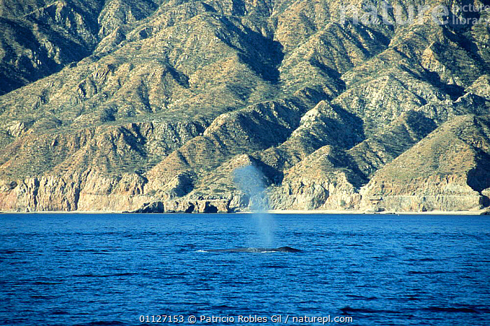 Blue whale spouting {Balaenoptera musculus} Gulf of California, Mexico  ,  BALEEN,BLOWING,BLUE,CENTRAL AMERICA,CETACEANS,COASTAL WATERS,COASTS,ENDANGERED,MAMMALS,MARINE,MEXICO,PACIFIC,SURFACING,TROPICAL,VERTEBRATES,WHALES,CENTRAL-AMERICA  ,  Patricio Robles Gil