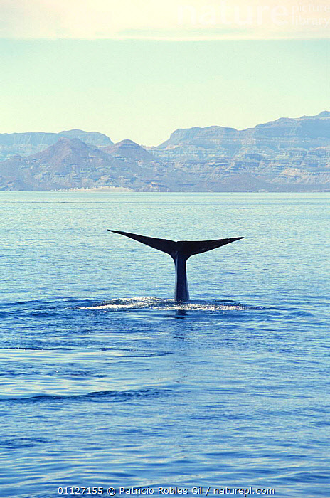 Tail fluke of Blue whale {Balaenoptera musculus} Gulf of California, Mexico  ,  BALEEN,BLUE,CENTRAL AMERICA,CETACEANS,COASTAL WATERS,COASTS,DIVING,ENDANGERED,FINS,MAMMALS,MARINE,MEXICO,PACIFIC,TAILS,TROPICAL,VERTEBRATES,VERTICAL,WHALES  ,  Patricio Robles Gil