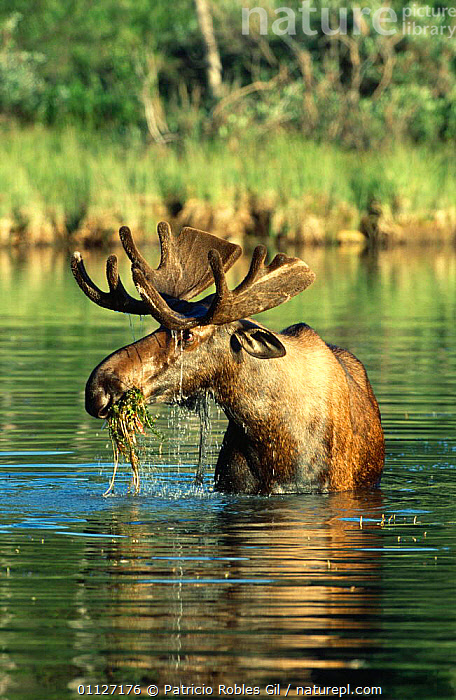 Male Moose feeding in lake {Alces alces} British Columbia, Canada  ,  ARTIODACTYLA,CANADA,CERVIDS,DEER,FEEDING,LAKES,MALES,MAMMALS,NORTH AMERICA,PONDS,VERTEBRATES,VERTICAL,WATER,WETLANDS  ,  Patricio Robles Gil
