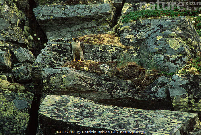 Peregrine falcon on cliff face {Falco peregrinus} Northwest Territories, Canada  ,  BIRDS,BIRDS OF PREY,CAMOUFLAGE,CANADA,CLIFFS,FALCONS,NORTH AMERICA,VERTEBRATES,Geology  ,  Patricio Robles Gil