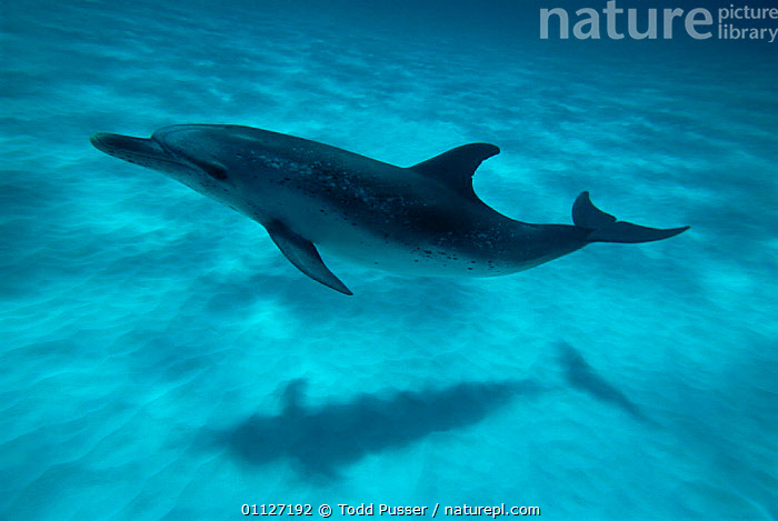 Atlantic spotted dolphin and shadow on seabed {Stenella frontalis} Bahamas  ,  ONE,SHADOWS,DOLPHINS,MARINE,UNDERWATER,MAMMALS,PORTRAITS,CARIBBEAN,CETACEANS,West Indies, Mammals  ,  Todd Pusser