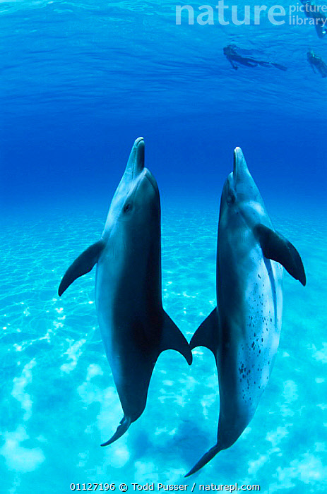 Pair of Atlantic spotted dolphins underwater {Stenella frontalis} Bahamas  ,  MARINE,MAMMALS,CETACEANS,VERTICAL,Dolphins, Mammals  ,  Todd Pusser