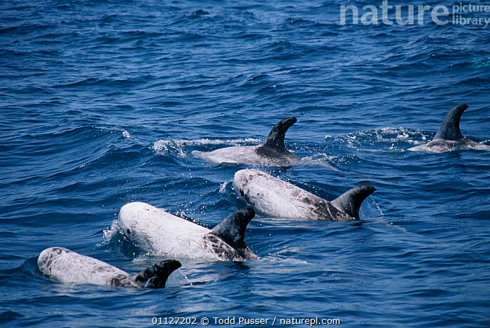Risso's dolphins {Grampus griseus} Monterey Bay, California, USA.  ,  SURFACE,MARINE,TROPICAL,GROUPS,POD,CETACEANS,NORTH AMERICA,MAMMALS,PACIFIC,RISSO,Dolphins, Mammals  ,  Todd Pusser