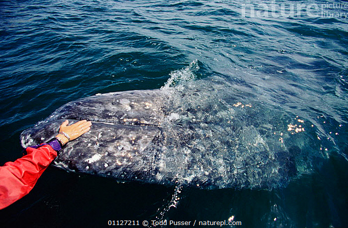 Tourist touching friendly Grey whale, Baja California, Mexico {Eschrichtius robustus}  ,  TOURISM,TROPICAL,CENTRAL AMERICA,WATCHING,MAMMALS,WHALES,CETACEANS,PACIFIC,PEOPLE,MARINE  ,  Todd Pusser